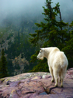 Photo of Mountain Goat, Glacier National Park, Mt., by John Hulsey