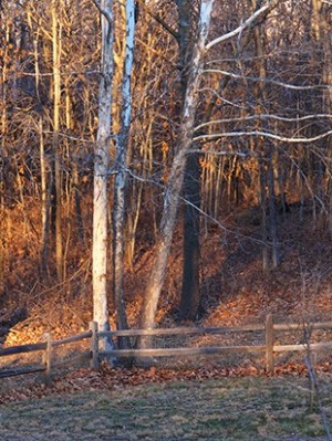 photo of Sycamores at sunset by John Hulsey