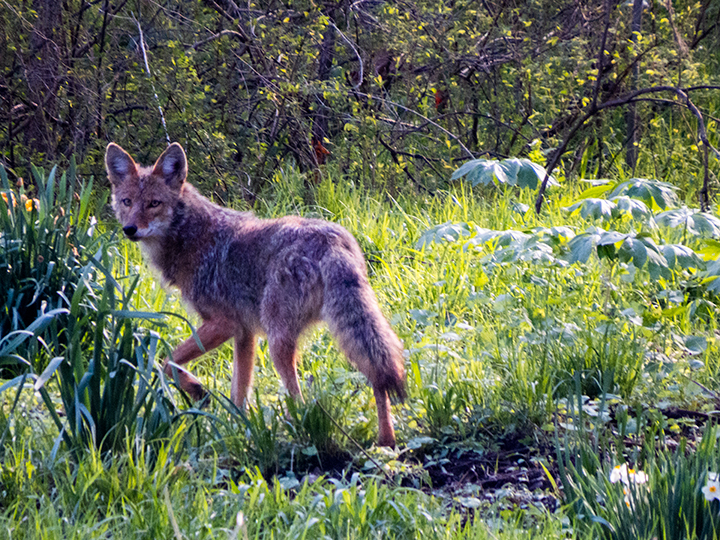Coyote, Photograph © J. Hulsey