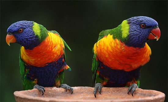 Rainbow Lorikeets (creative commons)